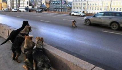 ДТП с собакой — не оставляйте ее умирать!